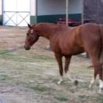 Boxer Dog Takes Horse