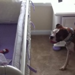 Boxer Dog Looking After Baby
