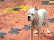Beautiful White Boxer Dog